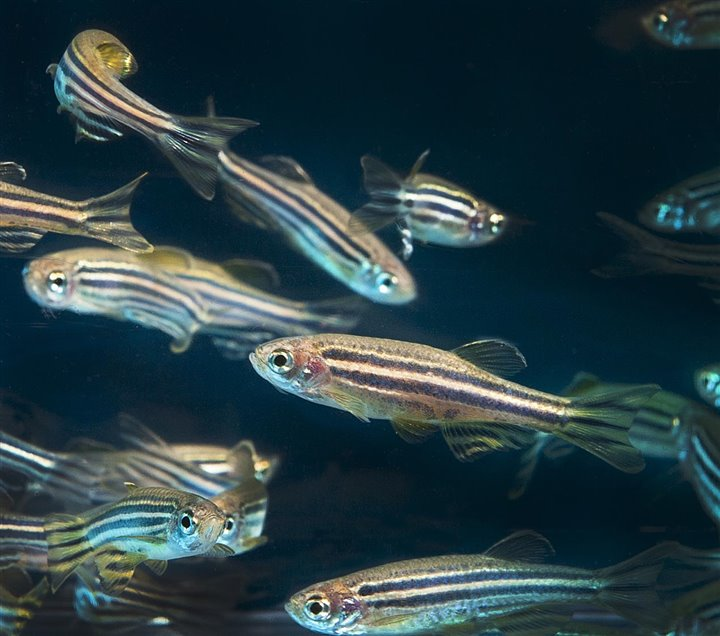 IBRI RESEARCH PUBLISHED: Targeting Polyamine Biosynthesis to Stimulate Beta Cell Regeneration in Zebrafish